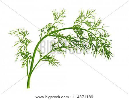 Fresh fennel leaf isolated on white background