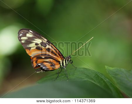 Tiger Longwing  heliconius ismenius Butterfly