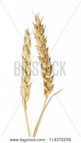 Beardless wheat ears isolated on white