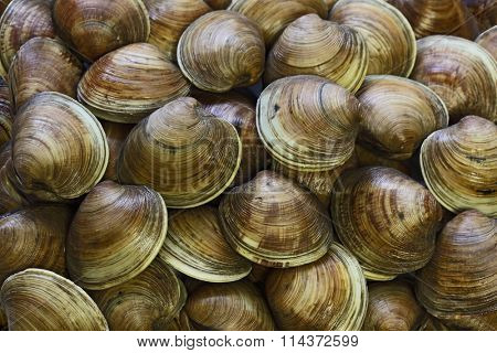 Littleneck clams for pattern background