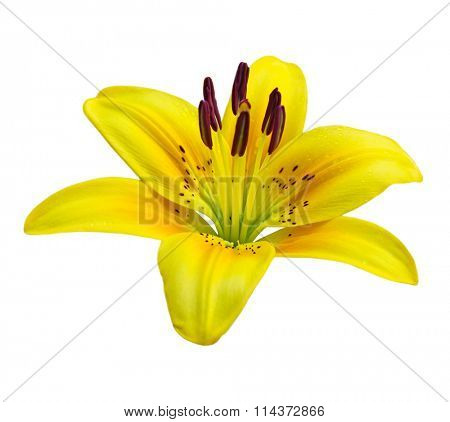 Single yellow lily flower isolated on white background