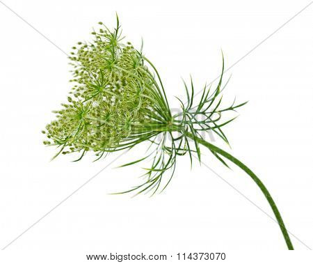 Queen Anne's Lace (Wild Carrot) Daucus carota flower isolated on white