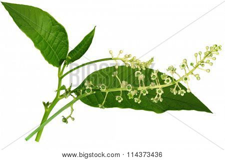 Pokeweed (Poke) Phytolacca americana wild flower isolated on white
