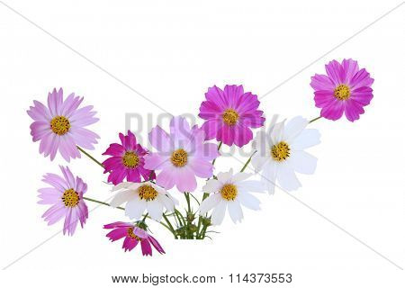 Sonata cosmos flowers isolated on white