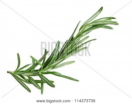 Single fresh rosemary twig isolated on white background