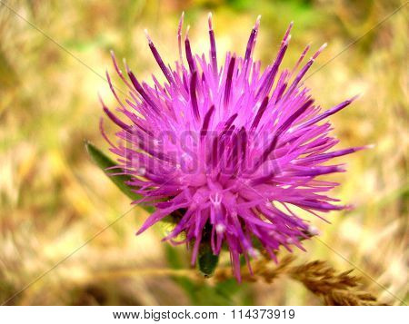 Creeping or Field Thistle