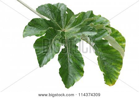 Giant Cecropia pachystachya Yarumo macho palmately lobed Leaf isolated on white