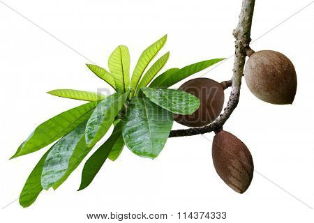 Mamey Sapote Couzmel fruit on branch isolated on white background