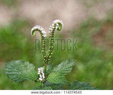 Three kinds of passiflora passion: Foetida, Edulis, Laurifolia flower, fruit, leaf, isolated on white