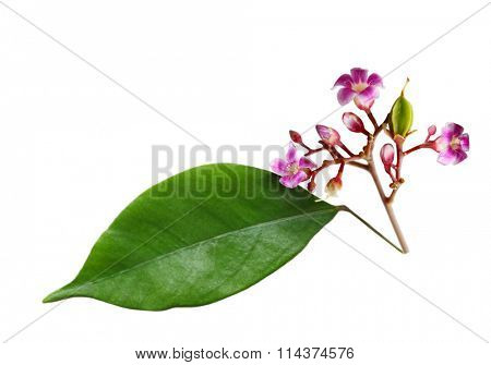 Young star fruit (Averrhoa carambola) with flower and leaf