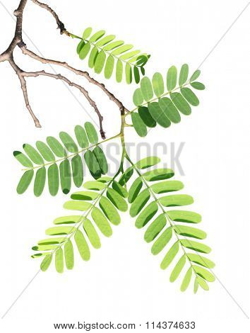 Tamarind leaf on branch isolated over white background