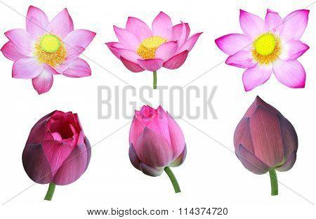 Set of pink nelumbo Nucifera lotus flower and bud isolated on white background
