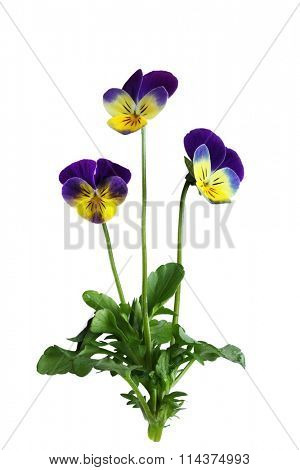 Single pansy flower plant isolated on white background
