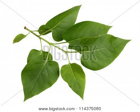 Lilac leaf on branch isolated on white background