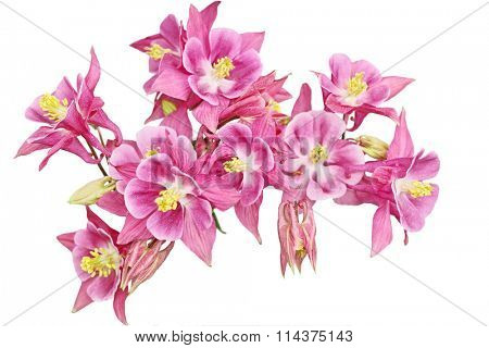 Pink Columbine Flower heads on a curve isolated over white background