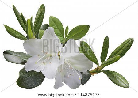 White Azela flower and leaf on branch, isolated over background