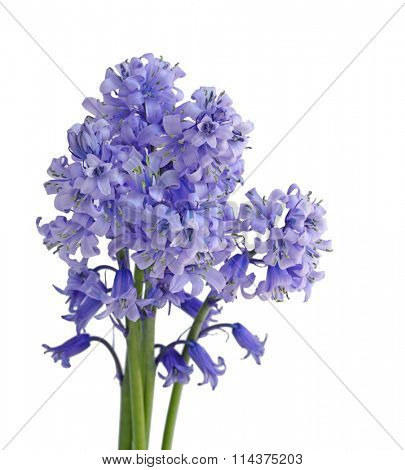Bundle of Bluebell flowers isolated on white background