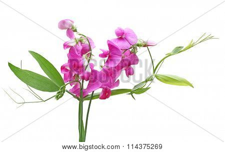 Sweet Pea (Lathyrus Latifolius Pearl Pink) Everlasting Sweet Pea flower isolated on white background