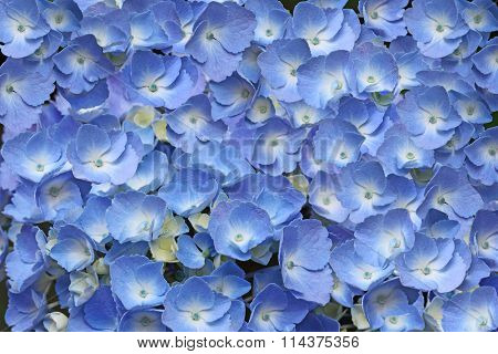 Beautiful blue an white  Hydrangea Hortansia Flower Background