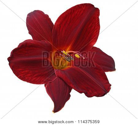 Single dark red daylily flower head isolated on white background