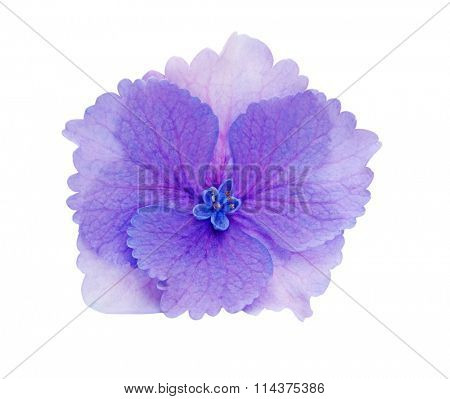 Single hydrangea hortansia flower head isolated on white background