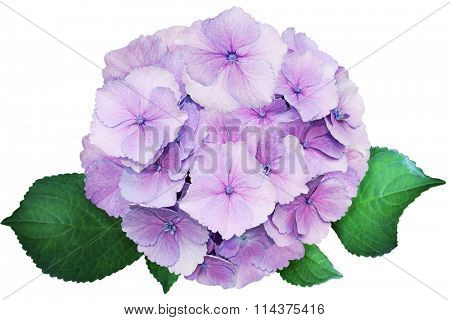 Single Purple Hortensia Hydrangea Flower isolated on white background