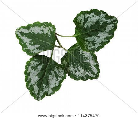 Yellow Archangel Leaf isolated on white background