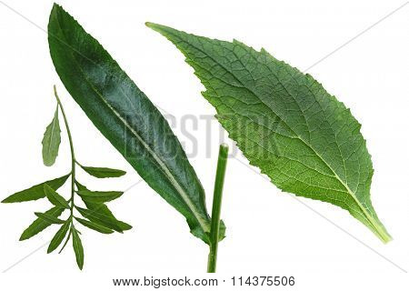 Set of primrose, daisy, black-eyed susan leaf isolated on white background