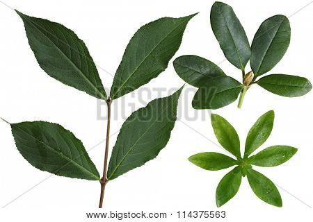Set of Sweet Woodruff, Rhodendron and Weigela Leaf isolated on white background