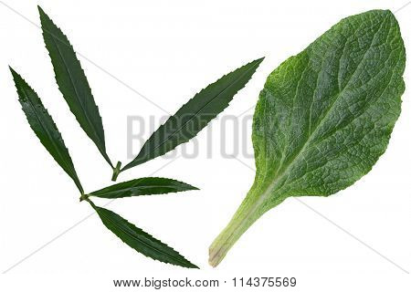 Foxglove and eyeful tower leaf isolated on white background