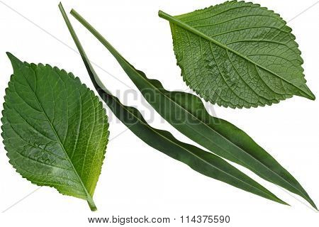 Hydrangea and Stokesia laevis aster leaf isolated on white background