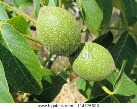 Picture of a two green immature walnuts