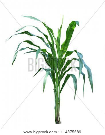 Three corn plants in the garden isolated on white background