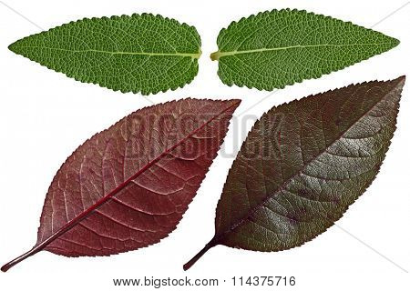 Set of Salvia and purple cherry leaf isolated on white background
