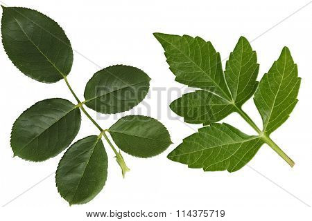Dahlia and Rose Leaf isolated on white background