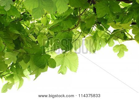 Green grape leaf on vine for nature background isolated on white