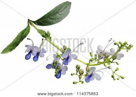 Clerodendrum ugandense Blue butterfly flower isolated on white background