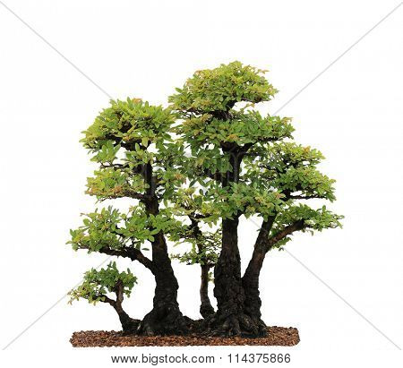 Chinese Elm Bonsai Tree isolated on white background