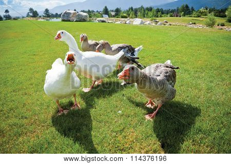 A pack of angry geese on a green grass loan attacking on camera. Lake and mountains on the back.