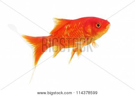 Symbol of wealth goldfish on a white background.