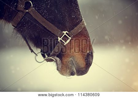 Muzzle Of A Brown Horse In A Halter