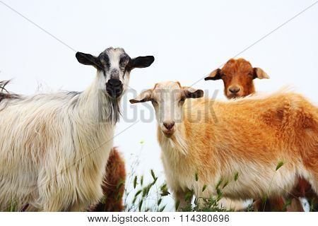 Goats With White And Brown Wool