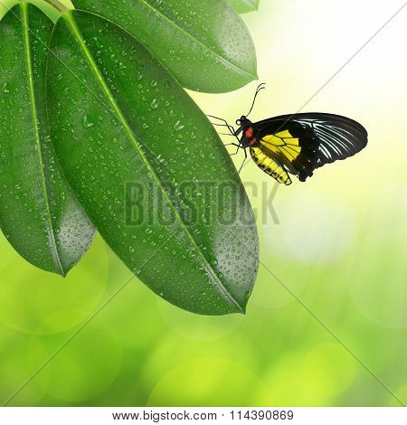 Ficus leaves with butterfly