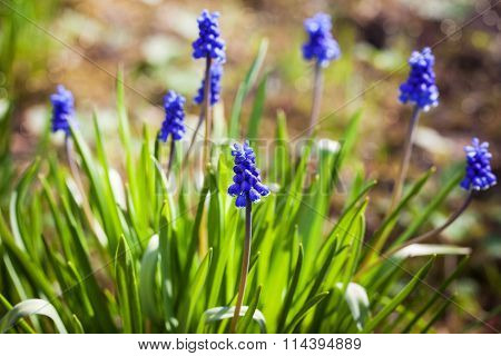 Spring Blue Flowers Muscari Or Murine Hyacinth