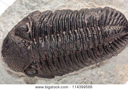 Trilobite , Elrathia Kingii