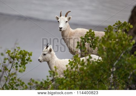Mountain goats on the hill