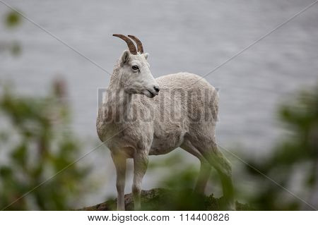 Mountain goat on the hill