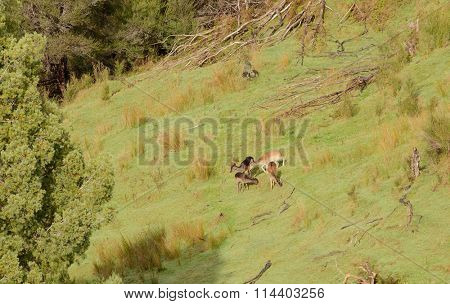 Fallow deer grazing in New Zealand