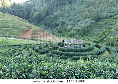 Tea Plantation And Small Hut In Thailand