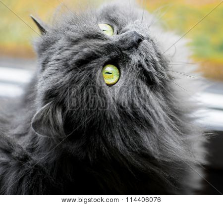 The Furry Green Eyed Persian Cat
